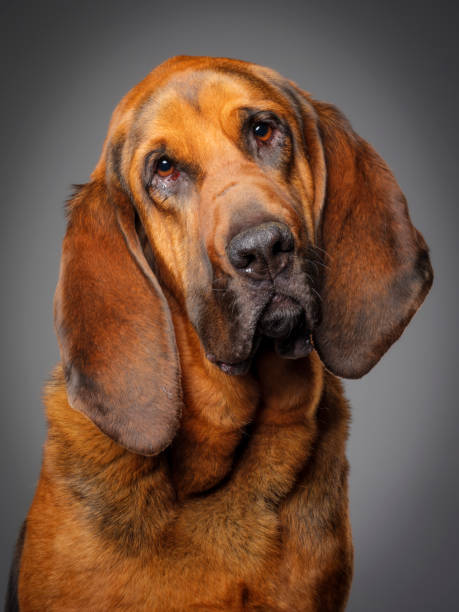 Purebred Bloodhound Dog:スマホ壁紙(壁紙.com)