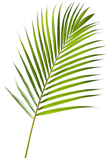 Green palm tree leaf with isolated on white clipping path:スマホ壁紙(壁紙.com)