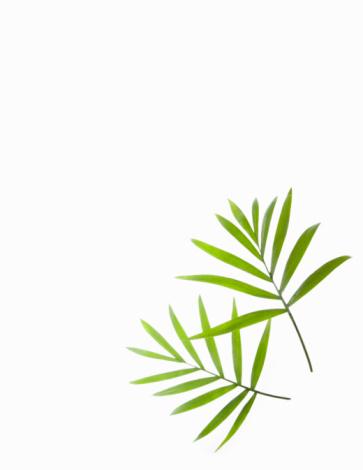 Palm Leaf「Green Palm leaf background still life」:スマホ壁紙(11)