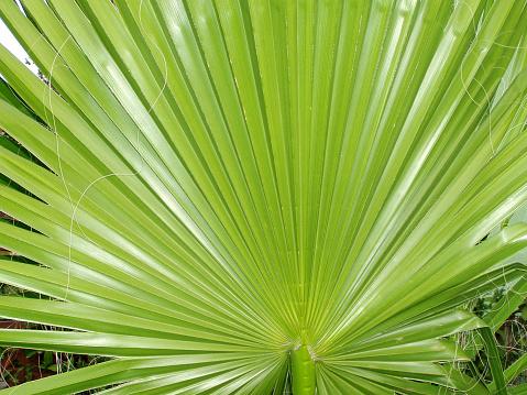 Frond「Green palm leaf texture」:スマホ壁紙(1)