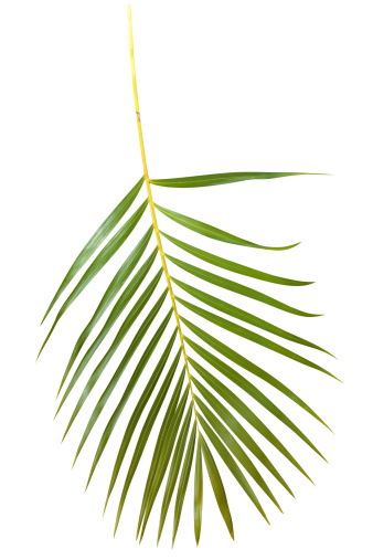 Frond「Green palm leaf isolated on white with clipping path」:スマホ壁紙(13)