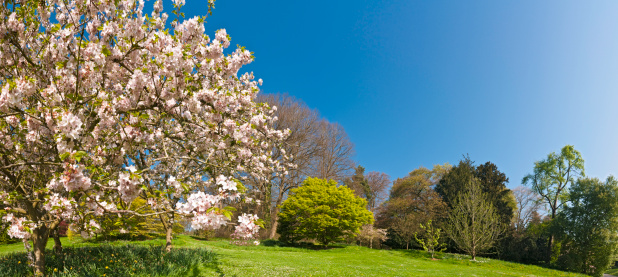 Cherry Blossoms「Pink blossom blooming lush green spring gardens panoramic blue sky」:スマホ壁紙(8)