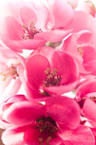 カリン「Pink blossoms, Chaenomeles japonica」:スマホ壁紙(16)