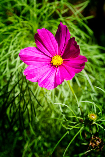コスモス「Pink blossom of Mexican aster」:スマホ壁紙(12)