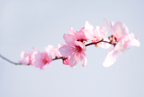 Branch「ピンクの花」:スマホ壁紙(12)