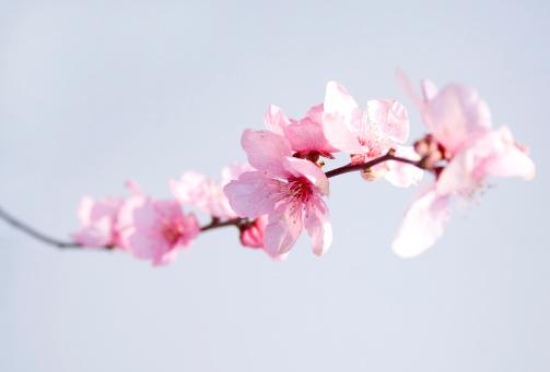 Sakura「ピンクの花」:スマホ壁紙(10)