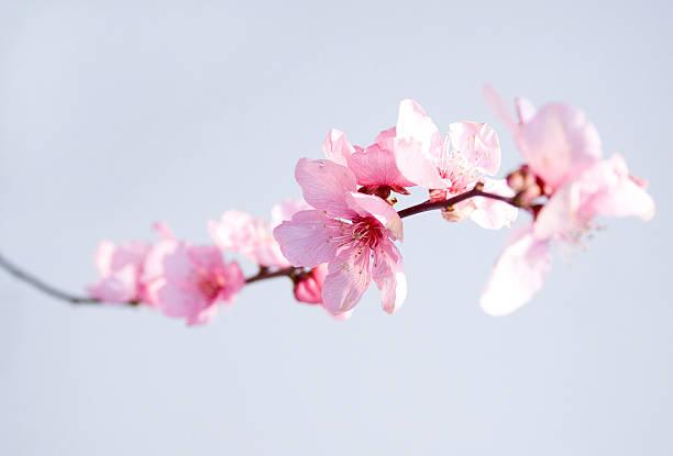 ピンクの花:スマホ壁紙(壁紙.com)