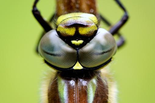 とんぼ「Eyes of Hairy dragonfly」:スマホ壁紙(7)