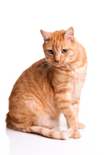 トラ猫「オレンジの Tabby 猫」:スマホ壁紙(14)