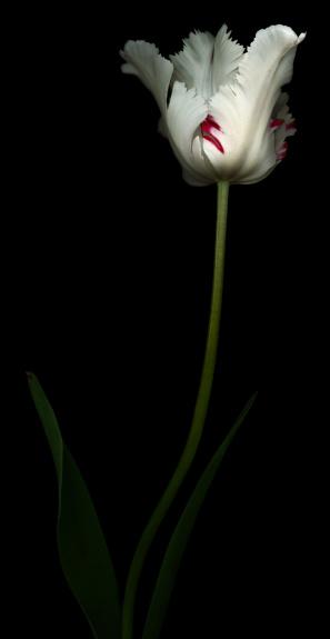 チューリップ「白と赤のパロットチューリップ」:スマホ壁紙(2)