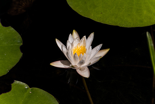 Water Lily「Water Lilly」:スマホ壁紙(15)