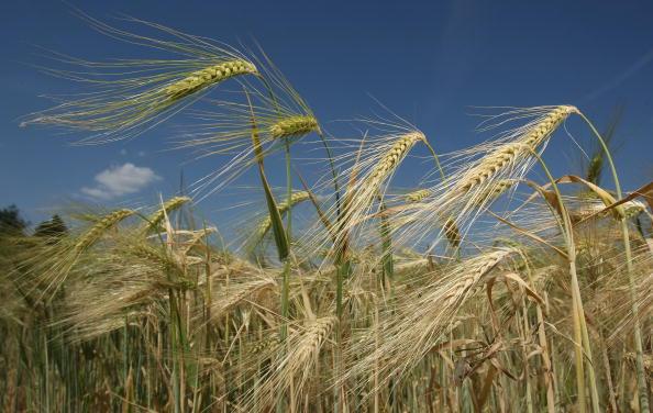 Barley「Barley」:写真・画像(2)[壁紙.com]