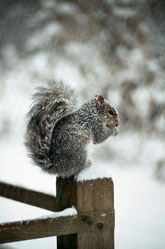 Gray Squirrel「Squirrel eating in snowstorm」:スマホ壁紙(1)