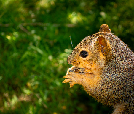 Gray Squirrel「Squirrel eating a nut」:スマホ壁紙(5)