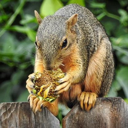 Squirrel「Squirrel eating a sunflower, Colorado, America, USA」:スマホ壁紙(6)