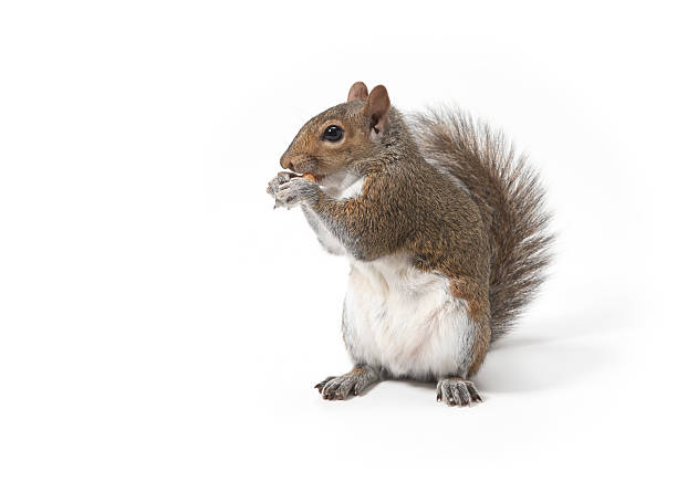 Squirrel eating nut:スマホ壁紙(壁紙.com)