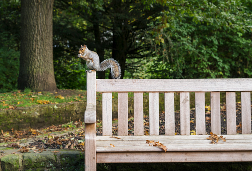 Gray Squirrel「Squirrel eating a nut while perched on a wooden bench」:スマホ壁紙(1)
