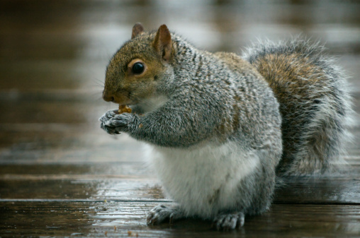Gray Squirrel「Squirrel Eating Pecan Nut」:スマホ壁紙(9)