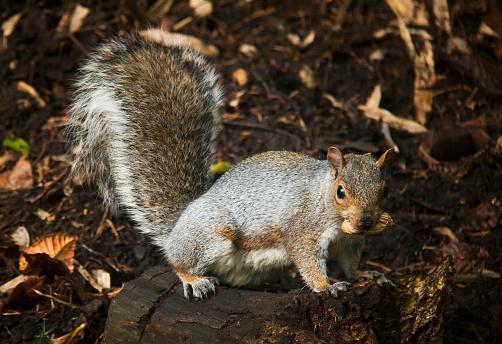 Gray Squirrel「Squirrel eating a nut on a tree stump in autumn」:スマホ壁紙(12)