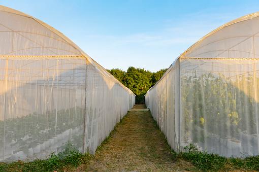 Vegetarian Food「Two hydroponic greenhouses」:スマホ壁紙(19)