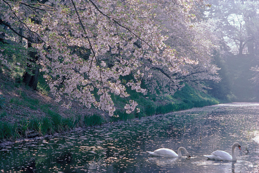 Cherry Blossoms「White Swans Under Blooming Cherry Trees」:スマホ壁紙(8)