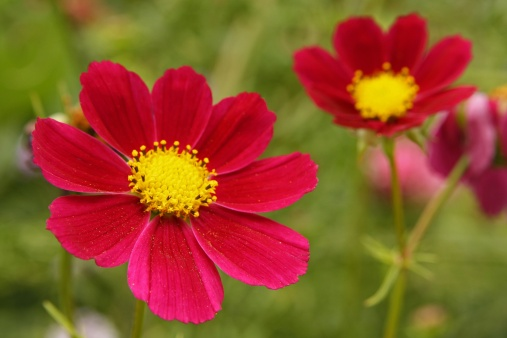 ガーデンコスモス「Garden Cosmos (Cosmea bipinnata)」:スマホ壁紙(8)