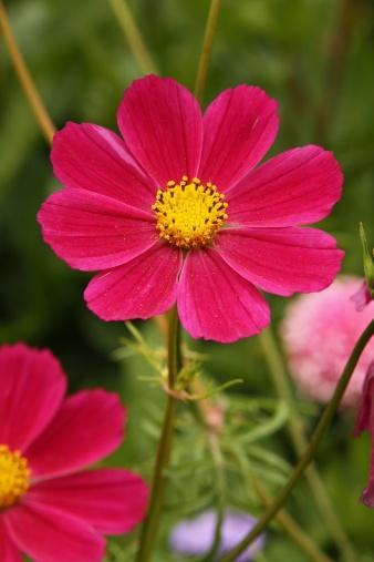 ガーデンコスモス「Garden Cosmos (Cosmea bipinnata)」:スマホ壁紙(5)