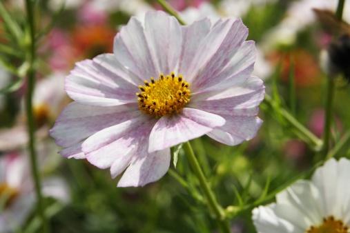 ガーデンコスモス「Garden Cosmos (Cosmea bipinnata)」:スマホ壁紙(9)