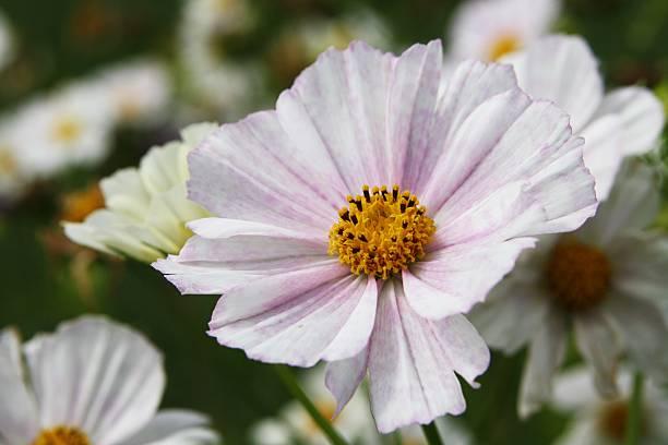 Garden Cosmos (Cosmea bipinnata):スマホ壁紙(壁紙.com)
