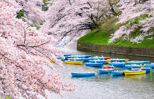 Cherry Blossom「Rows of boats float under the Cherry blossoms.」:スマホ壁紙(14)