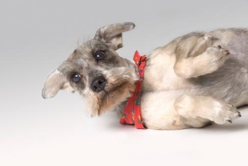Rolling on Back「Small gray terrier」:スマホ壁紙(11)