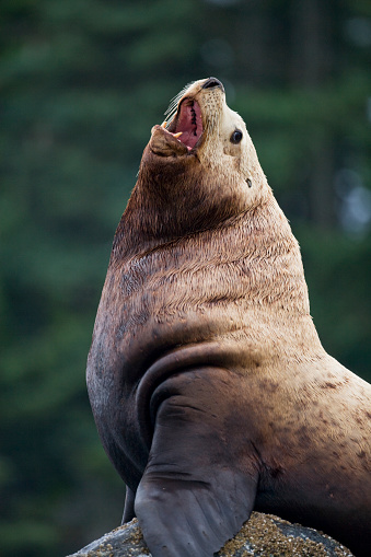 Sea Lion「Steller Sea Lion Bull in Alaska」:スマホ壁紙(13)