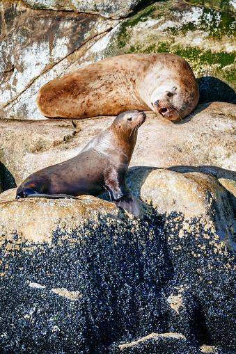 Sea Lion「Steller sea lions on South Marble Island,」:スマホ壁紙(13)