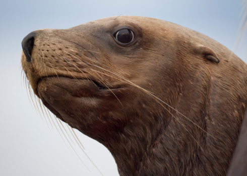 Sea Lion「Steller Sea Lion, Alaska」:スマホ壁紙(0)