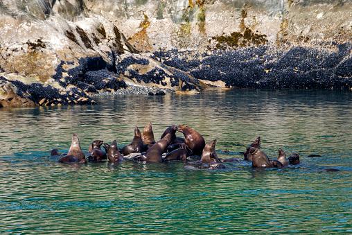 Glacier Bay National Park「Steller sea lions」:スマホ壁紙(11)