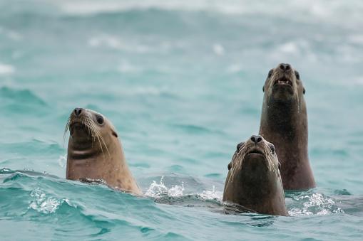 Sea Lion「Steller sea lions (Eumetopias jubatus)」:スマホ壁紙(5)