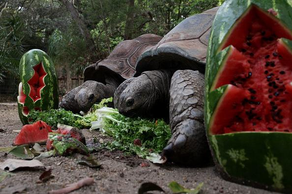 Lisa Maree Williams「Taronga Zoo Animals Recieve Christmas Gifts」:写真・画像(2)[壁紙.com]