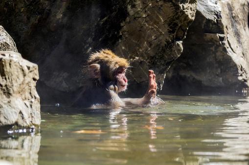 Waving「Japan, Red-faced makak, young animal in water」:スマホ壁紙(16)