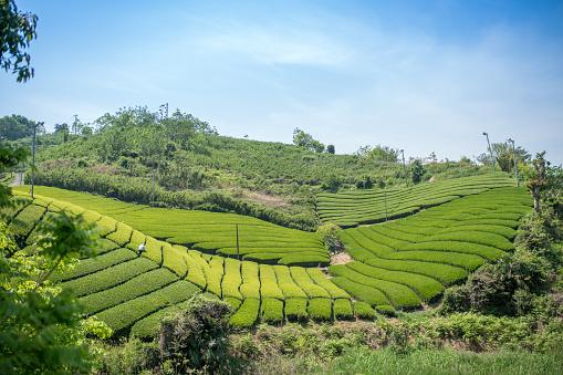 Kagawa Prefecture「Rows of green tea leaves」:スマホ壁紙(1)