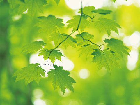 Japanese Maple「Green maple leaves」:スマホ壁紙(2)