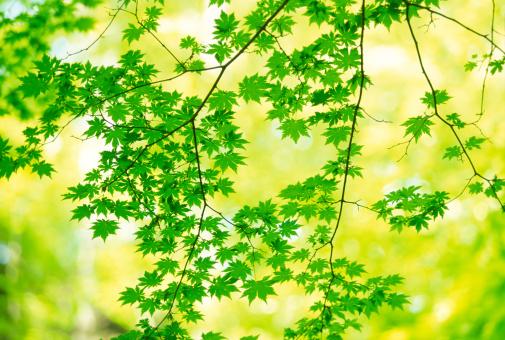 Japanese Maple「Green maple leaves」:スマホ壁紙(5)