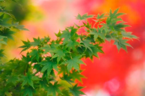 Japanese Maple「Green Maple Leaves on Red Background. Acer palmatum」:スマホ壁紙(19)