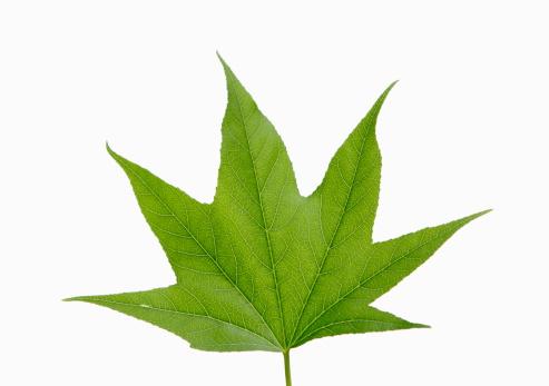 かえでの葉「A green maple leaf」:スマホ壁紙(11)
