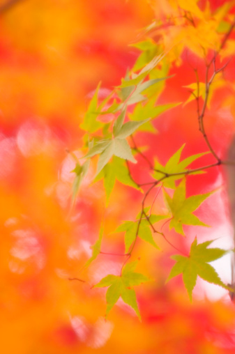 Japanese Maple「Green Maple Leaves with Orange Red Background. Acer palmatum」:スマホ壁紙(10)