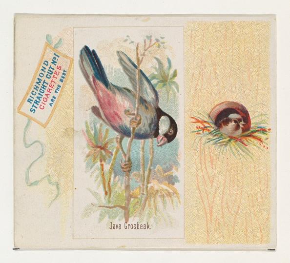 Songbird「Java Grosbeak」:写真・画像(9)[壁紙.com]