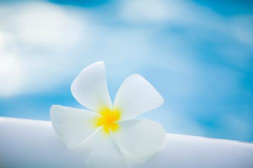 Northern Mariana Islands「White Temple Tree flower」:スマホ壁紙(2)