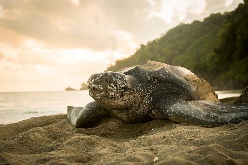 Green Turtle「Leatherback Turtle」:スマホ壁紙(11)