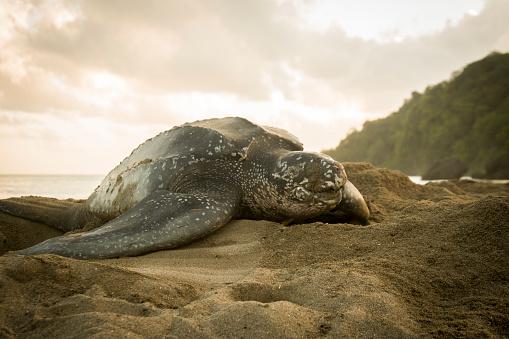 Green Turtle「Leatherback Turtle」:スマホ壁紙(19)