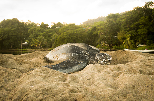 Green Turtle「Leatherback Turtle Nesting」:スマホ壁紙(14)