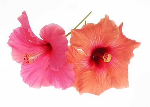 Sensory Perception「Pink & orange hibiscus flowers together on white.」:スマホ壁紙(2)